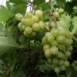 Саженцы винограда, Екатеринбург