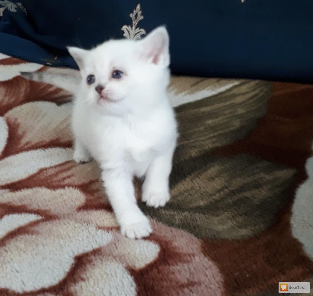Частные объявления о продаже котят в г.екатеринбурге объявления на розетка юэй куплю таврию
