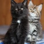 Черный солидный котенок. Питомник, Екатеринбург