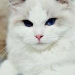 Котик породы Ragdoll (тряпичная кошка-кукла), 23/03/2020, Екатеринбург