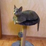 Русские голубые котята, Екатеринбург