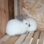 Продам крольчат калифорнийской породы на племя, Екатеринбург