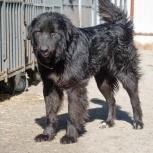 крупный молодой пес Патрик, Екатеринбург