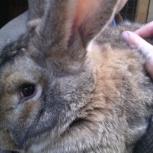 продам кроликов мясных пород, Екатеринбург