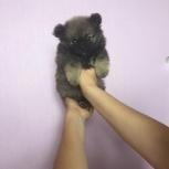 Шпиц померанский, толстолапый мишка, Екатеринбург
