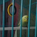 Волнистый попугайчик, Екатеринбург