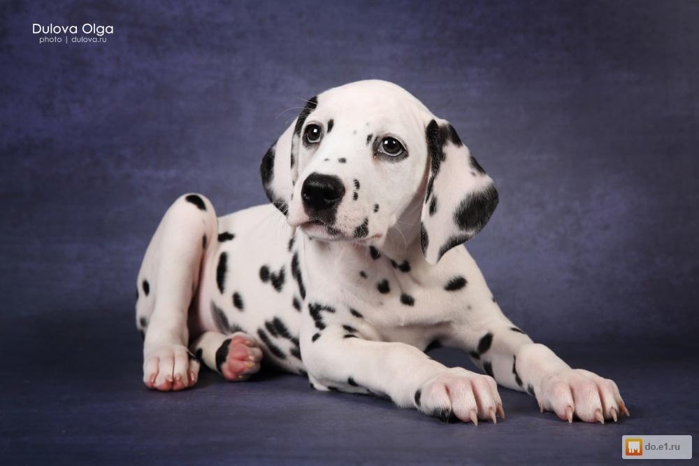щенок далматина
