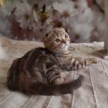 Вислоухого котик Антоша, Екатеринбург