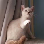 Голубоглазые мальчики котята, Екатеринбург