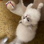 Котёнок породы Ragdoll (тряпичная кошка-кукла), Екатеринбург