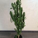 Очень красивое и большое растение для дома и офиса, Екатеринбург