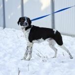 Ричмонд, 50см. в холке, воспитанный пес с охот. корнями в квартиру, Екатеринбург