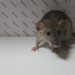Крысята урысы дамбо лекоративеые сфинкс, Екатеринбург
