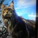 Р-Н пос. Мичуринский, в садах, потерялась кошка породы Мей-кун, Екатеринбург