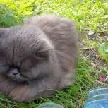 Персидская кошка, Екатеринбург