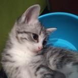 Отдам котят, 1.5 мес., цвет бело-серый и в полосочку), Екатеринбург