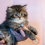 Шотландский котенок, Екатеринбург