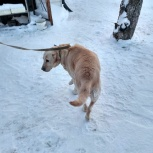 Найдена собака (лабрадор), Екатеринбург