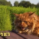Котёнок мейн кун красный. Шоу класс. Из питомника, Екатеринбург