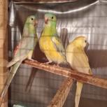 Певчие попугайчики, Екатеринбург