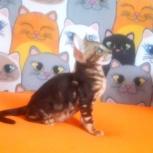 Бенгальские котята мраморного окраса с документами, Екатеринбург