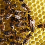 Продажа пчёл, Екатеринбург