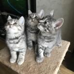Шотландские котята, Екатеринбург