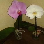 Орхидея Singolo, Екатеринбург