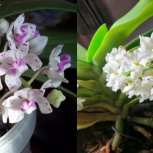 Орхидея Ринхостилис Гибрид, Екатеринбург