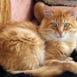 Мурзя неуловимый. Шикарный рыжий кот, 2-3 года, Екатеринбург