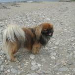 Потерялась собака, пекинес, Екатеринбург