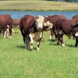 Телята, бычки породы Герефорд, Екатеринбург