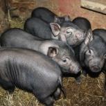Продам свинок вьетнамских, Екатеринбург