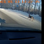 Собака в ошейнике мечется при спуске с екада, Екатеринбург