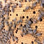 Пчелопакеты карника пчелы матки пчелосемьи, Екатеринбург