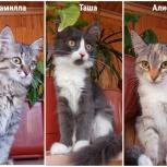 Камилла, Таша и Алиса, кошечки, примерно 3-3,5 мес., Екатеринбург