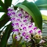 Орхидея Ринхостилис, Екатеринбург
