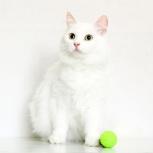 Кошка СКАЛЛИ. Прекрасная Царевна-Несмеяна, 5 лет, Екатеринбург