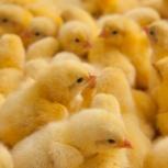 Продаются цыплята бройлеров, Екатеринбург