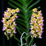 Орхидея Аэридес, Екатеринбург