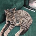 Европейская короткошерстная кошка, Екатеринбург