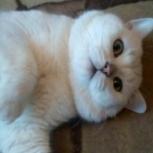 Британский шиншиловый кот, Екатеринбург