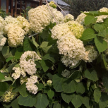 Многолетние растения Гортензия, Екатеринбург