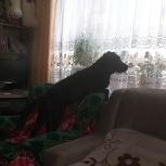 Найден черный лабрадор, Екатеринбург
