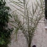 Продается пальма фикусовая и фикус бенджемина, Екатеринбург