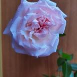 Комнатные розы, Екатеринбург