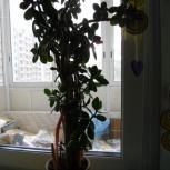 Денежное дерево - толстянка, Екатеринбург
