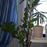 Цветок замиокулькас, доллоровое дерево, Екатеринбург