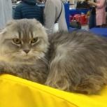 Шотландский вислоухий котик, Екатеринбург