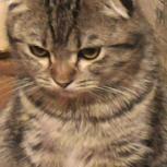 Шотландский вислоухий кот, Екатеринбург